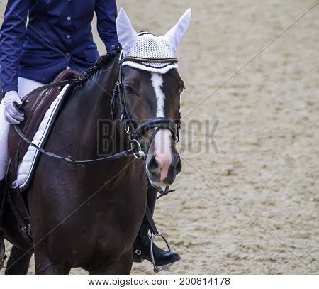 Dressage horse and rider. Brown horse portrait during dressage competition. Advanced dressage test.