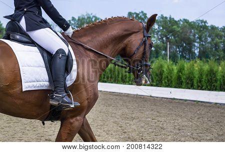 Dressage horse and rider. Chestnut brown horse portrait during dressage competition. Advanced dressage test.