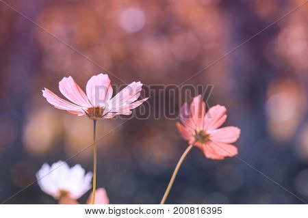 Delicate pink cosmos flowers on bokeh background. Soft selective focus. Toning of colors