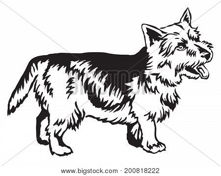 Decorative portrait of standing in profile Norwich Terrier vector isolated illustration in black color on white background