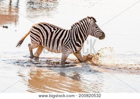 A Burchells zebra Equus quagga burchellii walking in muddy water at a waterhole in Northern Namibia