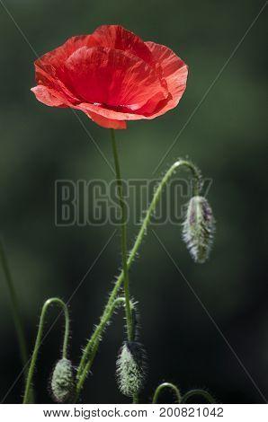Red Poppies In The Flowering Season