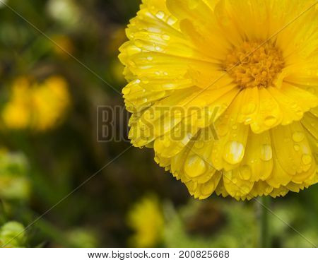 beautiful yellow and white flower after the rain