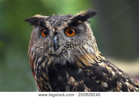 Eurasian eagle owl (bubo bubo) portrait owls are often used as a symbol of wisdom selective focus on the orange eyes narrow depth of field