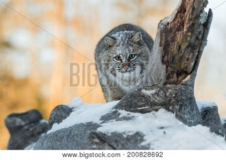 Bobcat (Lynx rufus) Crouches to Pounce - captive animal