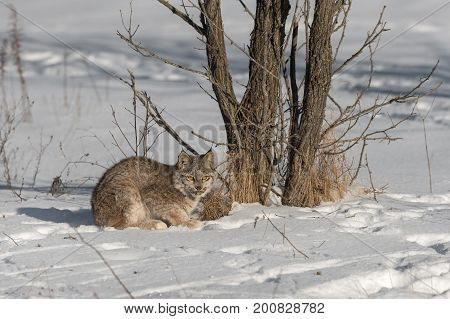 Canadian Lynx (Lynx canadensis) Stares by Tree - captive animal