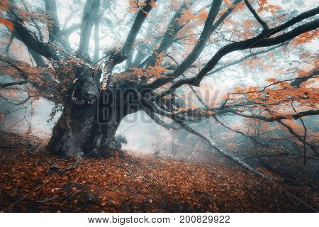 Spooky Tree In Fog. Old Magical Tree With Big Branches And Orang