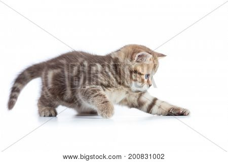 Young funny cat catching something isolated