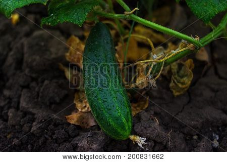 Young Growing Cucumber
