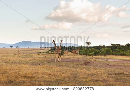 animal, nature and wildlife concept - group of giraffes in maasai mara national reserve savannah at africa