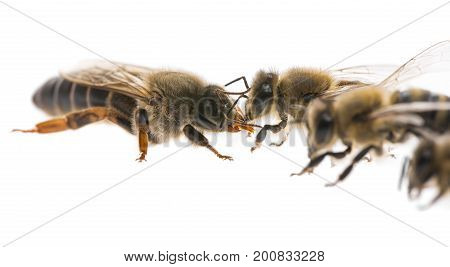 worker bee and the queen (apis mellifera)