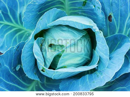 Blue Cabbage Plant.