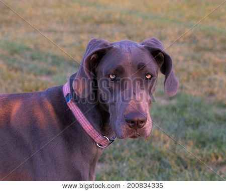 Head neck shoulders of young female grey great dane yellow eyes floppy ears wearing a red white plaid collar looks serious questioning sad pensive-Soft focus background