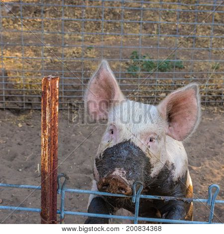 Close up head shot of sad serious looking single dirty young domestic pink pig with muddy face and big ears standing on her hinds legs looking at the camera over her wire pen in sunset lighting.
