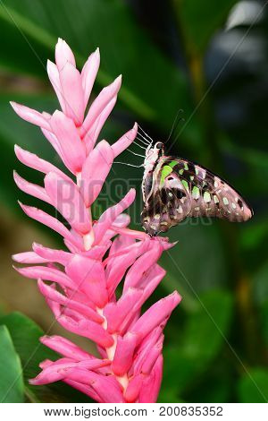 A Tailed Jay butterfly lands on a pretty pink flower in the gardens.