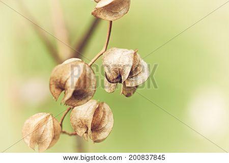 Nicandra in autumn (Apple of Peru)