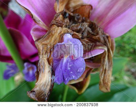 tulip native to eastern Thailand - Curcuma alismatifolia Siam tulip or summer tulip or dok krajiao