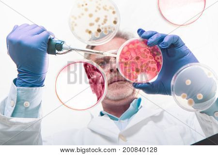 Focused senior life science professional grafting bacteria in the pettri dishes. Lens focus on the pipette. Through the glass view.
