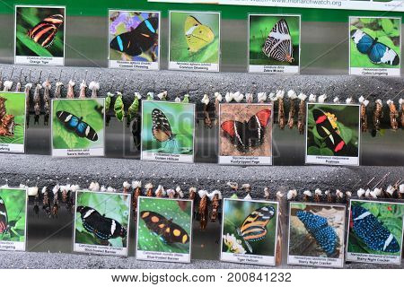 Victoria BC,Canada,January 2nd 2017.Butterfly photos and butterfly cocoons in the emerging wing at the butterfly gardens in Victoria BC.