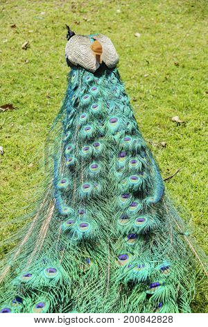 Close Up Shot Of A Peacock's Fan