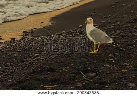 Wave and seagull on sandy beach and volcanic stones tyrrhenian sea stromboli island italy