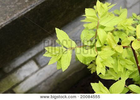 Light green foliage with dew