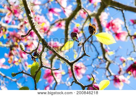 Green spring leaves on deciduous magnolia tree with pink flowers against blue sky with shallow depth of field. Photographed in New Zealand NZ.