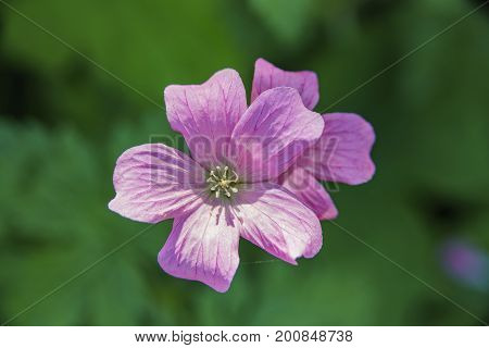 Close Up Shoot Of A Common Oxalis Corymbosa