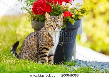 Animals. Brown tabby cat enjoying himself outdoor in garden warming in the sun