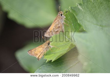 two moths are chasing each other during mating period