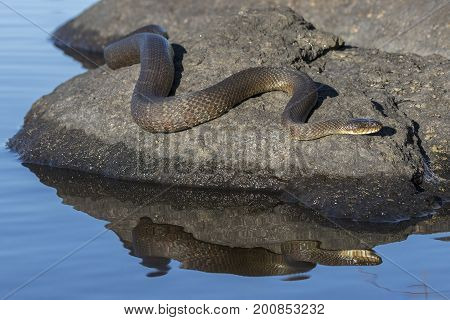 Northern Water Snake (Nerodia sipedon sipedon) basking on a rock in summer - Ontario Canada