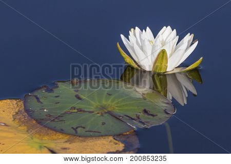 American White Water Lily (Nymphaea odorata) blooming on a lake in Ontario Canada