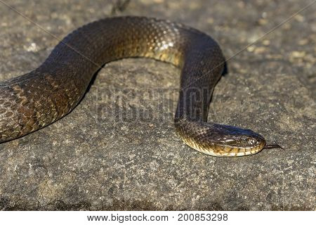 Northern Water Snake (nerodia Sipedon Sipedon) Flicking Its Tongue - Ontario, Canada