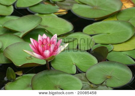 Pink Water Lilly and Lilly Pads