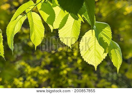 close up of backlit hazelnut tree leaves in springtime