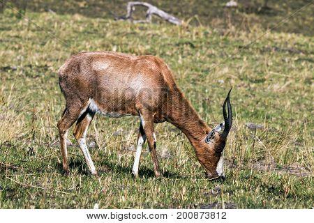 Single  Blesbok Feeding On Dry Winter Grassland
