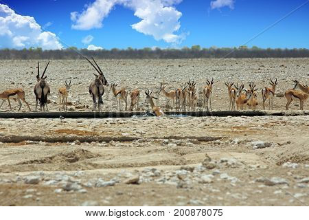 Landscape of a vibrant waterhole in Etosha with Oryx and Impala