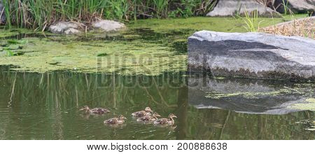 Ducks following mother in a queue, lake, symbolic figurative harmonic peaceful animal family portrait following team grouping together group trust safety harmony.