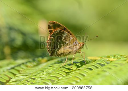 Silver washed fritillary resting on fern leaf in the sun, cornwall, uk