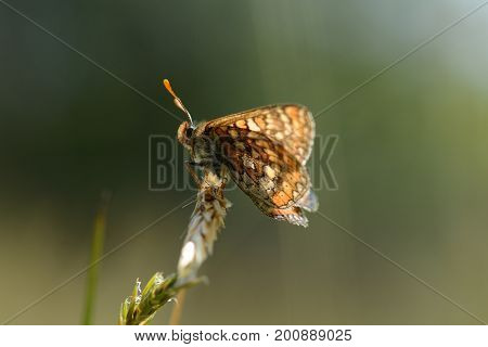 marsh fritillary butterfly resting in the sun on grass stem, cornwall, uk