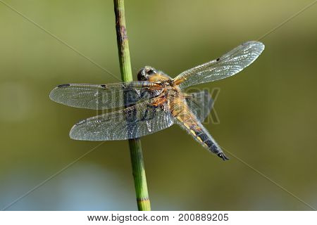 four spot chaser dragonfly on a reed by the water, cornwall, uk