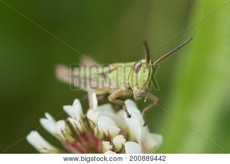 Meadow grasshopper on a clover flower head, cornwall, uk