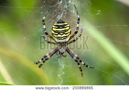 wasp spider in web with freshly captured frog hopper, cornwall, uk