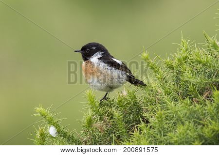 Stonechat (juvenile male) in Gorse bush, cornwall, uk