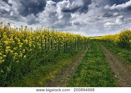 dark ground road in rapeseed yellow flower field, spring landscape with moody sky