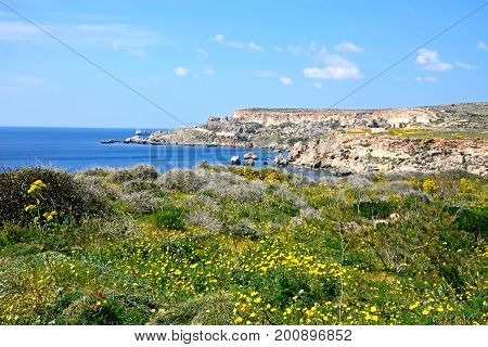 Pretty Spring wildflowers with views towards the cliffs and Mediterranean sea Golden Bay Malta Europe.