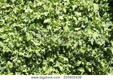 Background of green creeping canadian ivy in sunny day