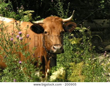 cow on a pasture among wild flowers poster