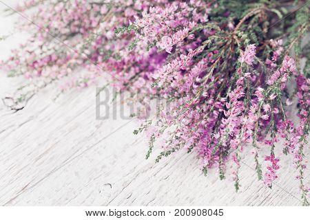 Heap of pink heather flower (calluna vulgaris erica ling) on white rustic table. Greeting card for mother or woman day.