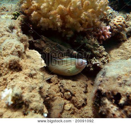 Geometric Moray (eel)